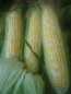 Bi-Color Sweet Corn hits the spot in the Summer