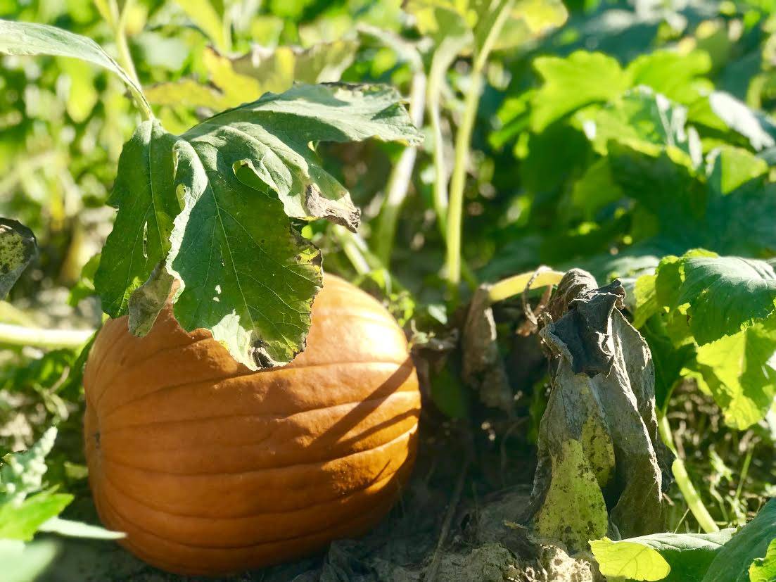 image-838098-Pumpkin_on_vine_2-e4da3.jpg